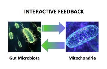 Microbiome Mitochondria Feedback